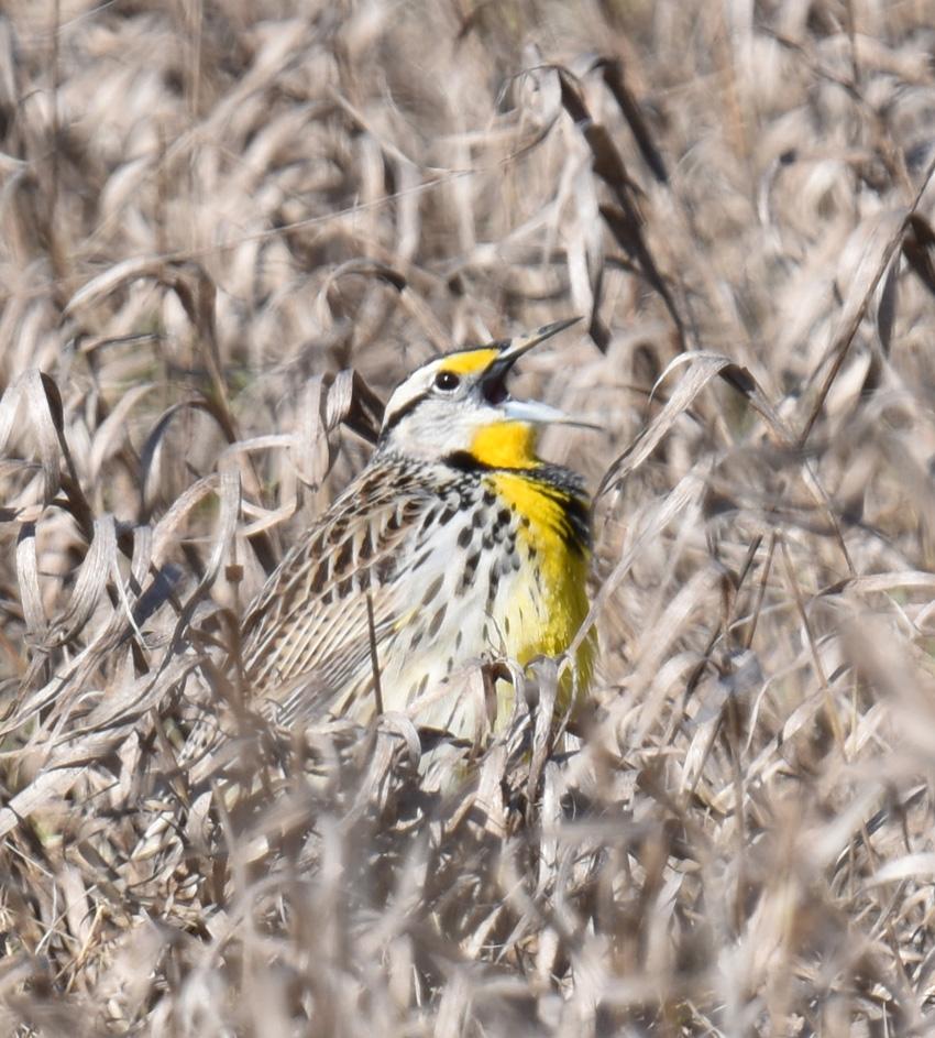 Photo of Eastern Meadowlark Fully Wide Singing on NaturalCrooksDotCom