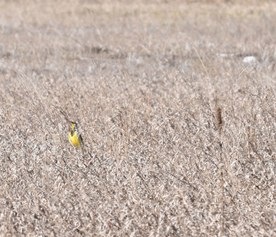 Photo of Eastern Meadowlark Shows Up in Field on NaturalCrooksDotCom