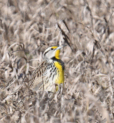 Photo of Eastern Meadowlark Sitting In Field on NaturalCrooksDotCom