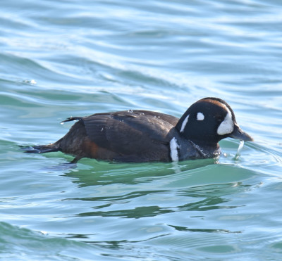 Photo of Harlequin Duck Male Watery on NaturalCrooksDotCom