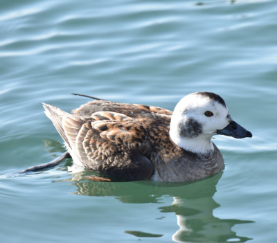 Photo of Long Tailed Duck Female Nonbreeding on NaturalCrooksDotCom