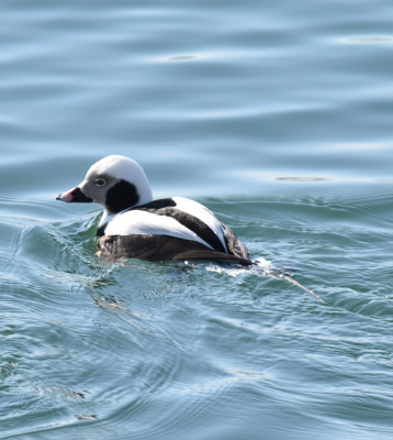 Photo of Long Tailed Duck Male After Dive on NaturalCrooksDotCom