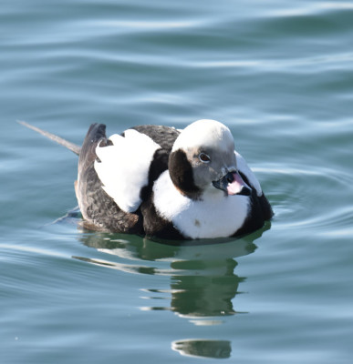 Photo of Long Tailed Duck Male Before Dive on NaturalCrooksDotCom