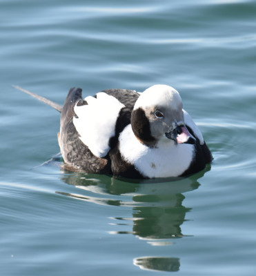 Photo of Long Tailed Duck Male Nonbreeding on NaturalCrooksDotCom