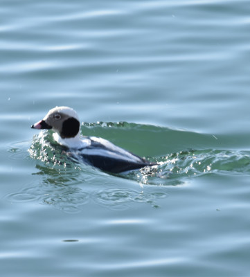 Photo of Long Tailed Duck Male Underwater D on NaturalCrooksDotCom
