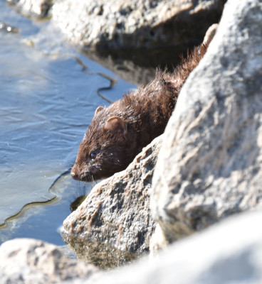 Photo of Mink By Ice on NaturalCrooksDotCom