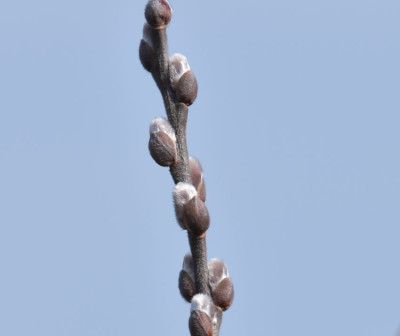 Photo of Pussywillow Stalk on NaturalCrooksDotCom