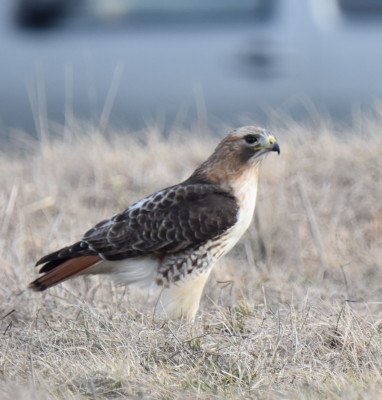 Photo of Red Tailed Hawk Ground Catch on NaturalCrooksDotCom