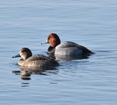 Photo of Redhead Pair on Still Lake on NaturalCrooksDotCom