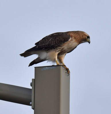 Photo of Red tailed Hawk Light Post Shadows 25 on NaturalCrooksDotCom