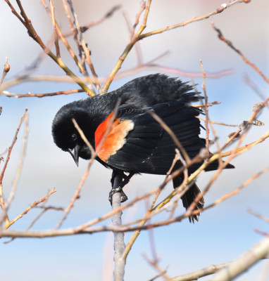 Photo of Redwinged Blackbird Male in Pussywillow B on NaturalCrooksDotCom