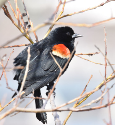 Photo of Redwinged Blackbird Male in Pussywillow D on NaturalCrooksDotCom