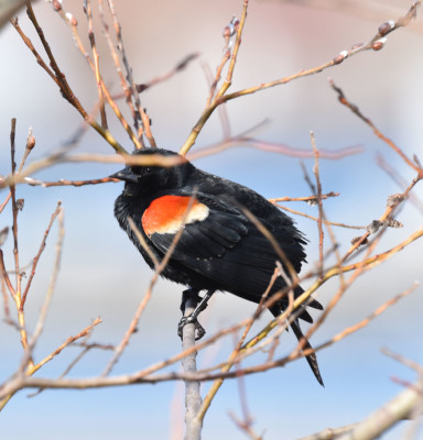Photo of Redwinged Blackbird in Pussywillow A on NaturalCrooksDotCom