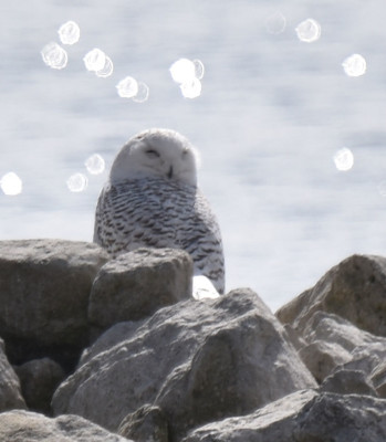 Photo of Snowy Owl Almost Facing B on NaturalCrooksDotCom