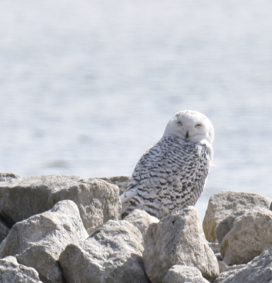 Photo of Snowy Owl Eyes Closed on NaturalCrooksDotCom
