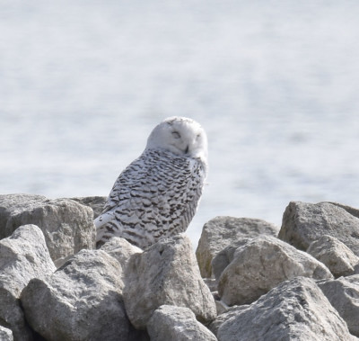Photo of Snowy Owl Facing Me D on NaturalCrooksDotCom