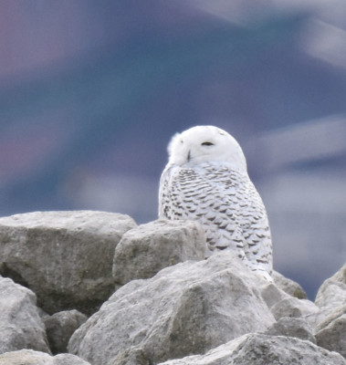 Photo of Snowy Owl Left Q on NaturalCrooksDotCom