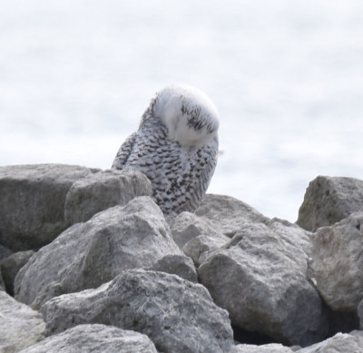 Photo of Snowy Owl Preening on NaturalCrooksDotCom