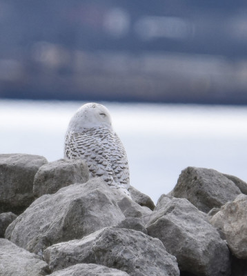 Photo of Snowy Owl Right D on NaturalCrooksDotCom