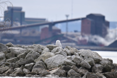 Photo of Snowy Owl Stelco on NaturalCrooksDotCom