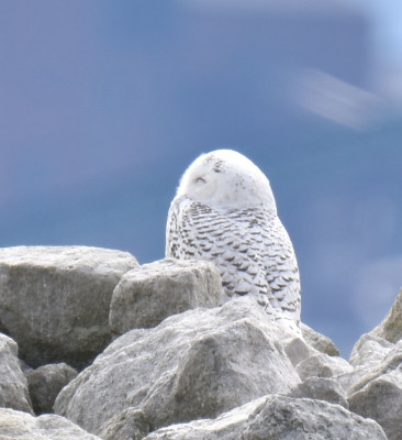 Photo of Snowy Owl Way Left B on NaturalCrooksDotCom