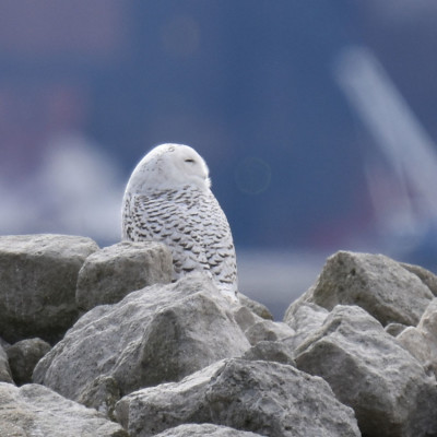 Photo of Snowy Owl Whiskers on NaturalCrooksDotCom