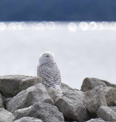 Photo of Snowy Owl With Halo on NaturalCrooksDotCom