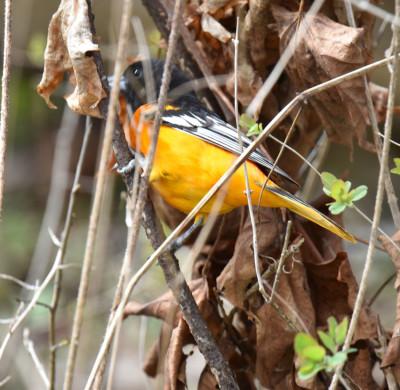 Photo of Baltimore Oriole Eye On NaturalCrooksDotCom