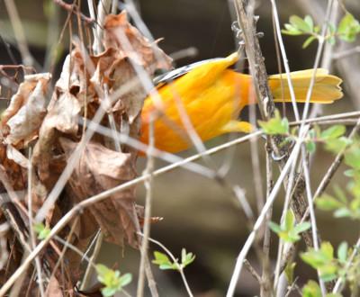 Photo of Baltimore Oriole Tail on NaturalCrooksDotCom