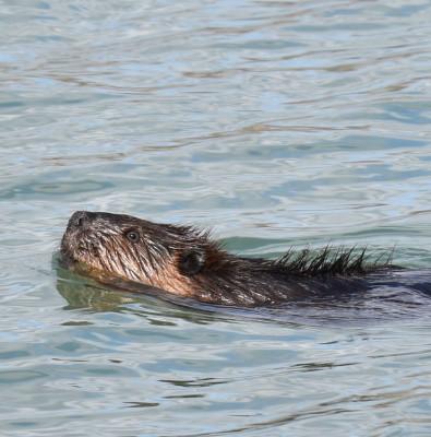 Photo of Beaver Humber East on NaturalCrooksDotCom