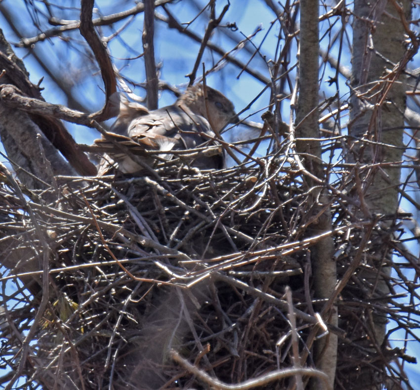 Photo of Coopers Hawk Watching from Nest On NaturalCrooksDotCom