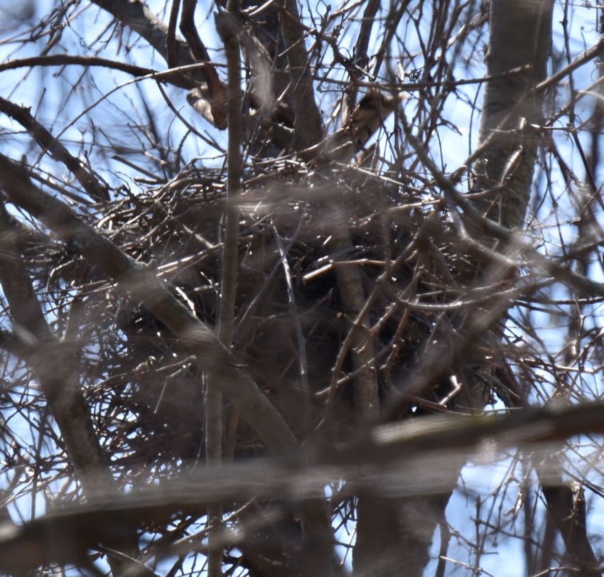 Photo of Coopers Nest with Tail Up On NaturalCrooksDotCom