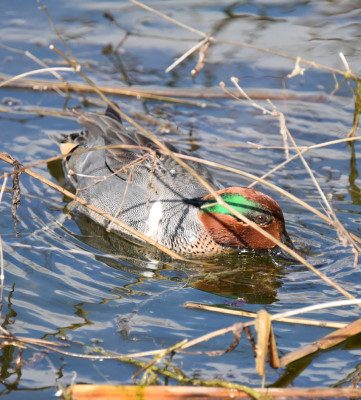 Photo of Green Winged Teal Male In Plants On NaturalCrooksDotCom