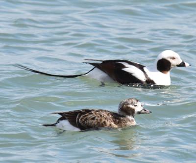 Photo of Long Tailed Ducks Pair on NaturalCrooksDotCom