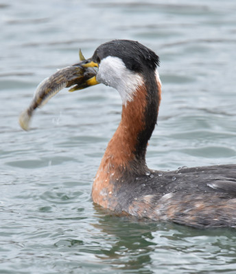 Photo of Red Necked Grebe Arranging Round Goby to Eat It on NaturalCrooksDotCom
