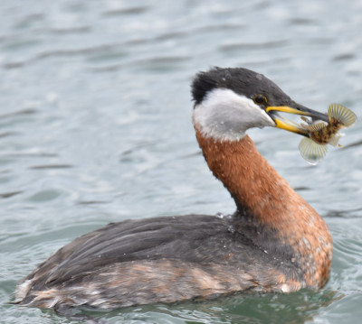 Photo of Red Necked Grebe with Round Goby on NaturalCrooksDotCom