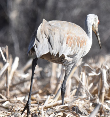 Photo of Sandhill Crane Bustle and Foot on NaturalCrooksDotCom