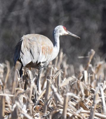 Photo of Sandhill Crane Bustle on NaturalCrooksDotCom