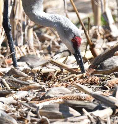 Photo of Sandhill Crane Corn Cobs on NaturalCrooksDotCom