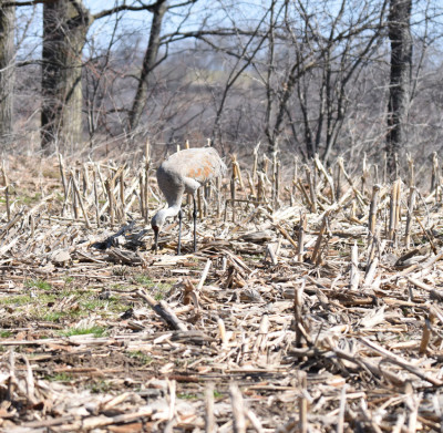 Photo of Sandhill Crane In Field on NaturalCrooksDotCom