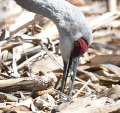 Photo of Sandhill Crane Open Billed in Soil on NaturalCrooksDotCom