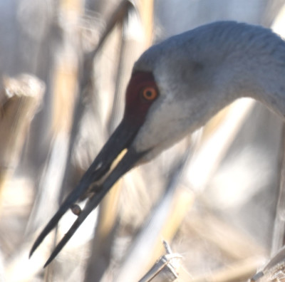 Photo of Sandhill Crane Possibly Snail on NaturalCrooksDotCom