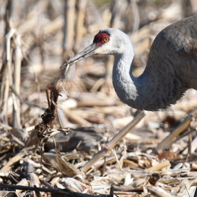 Photo of Sandhill Crane Shaking Cornstalks on NaturalCrooksDotCom