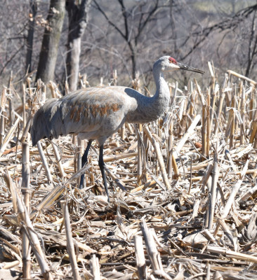 Photo of Sandhill Crane Thinking on NaturalCrooksDotCom