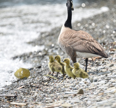 Photo of Canada Goose Goslings Rattray May on NaturalCrooksDotCom
