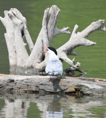 Photo of Common Tern Calling Log Rattray May on NaturalCrooksDotCom
