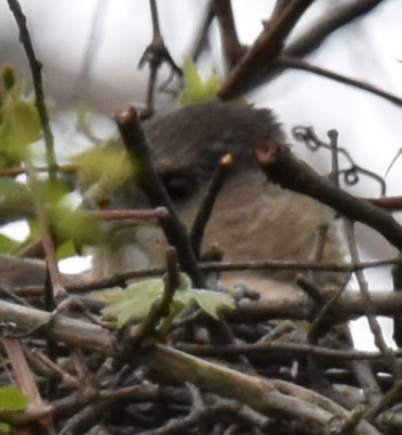 Photo of Coopers Hawk On Nest Close up Brightened Rattray May 26 on NaturalCrooksDotCom