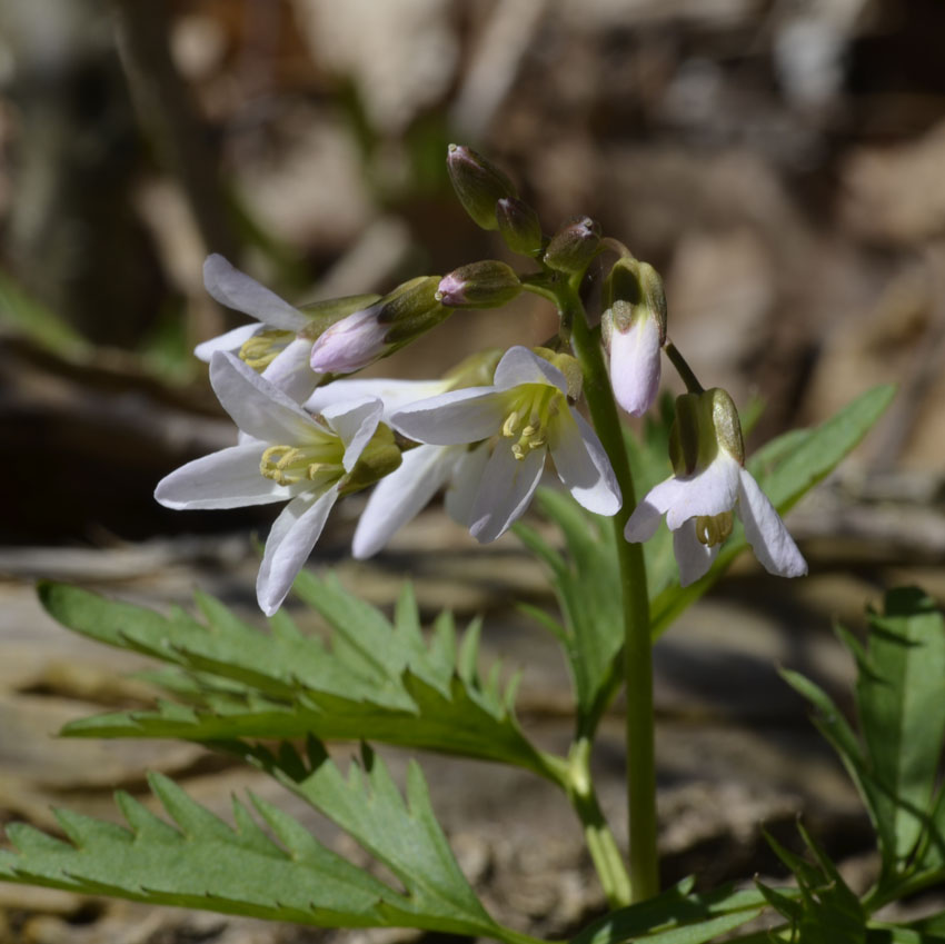 Photo of Cut Leafed Toothwort Pinkish on NaturalCrooksDotCom