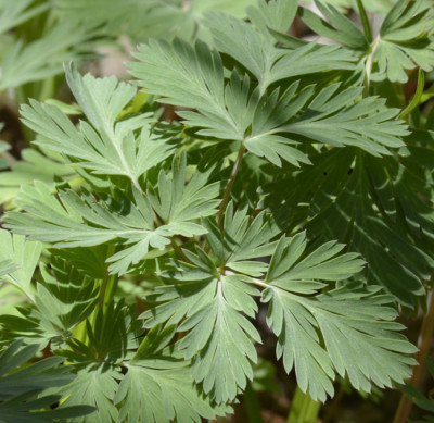 Photos of Dutchmans Breeches Leaves on NaturalCrooksDotCom