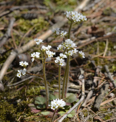 Photo of Early Saxifrage on NaturalCrooksDotCom